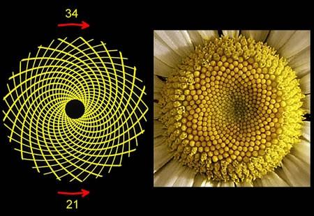 Ayçiçeğinin Matematik Bilgisi (!)